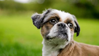 Zuchon Dog Breed Profile