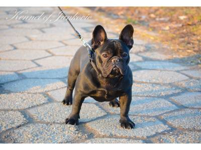 Bulldog from Semendria Etna