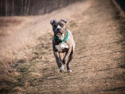 Things you didn't know about the American Staffordshire Terrier