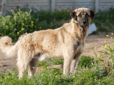 Anatolian Shepherd - Breed With The Strongest Bite