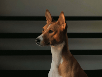 Top 6 Basenji Fun Facts