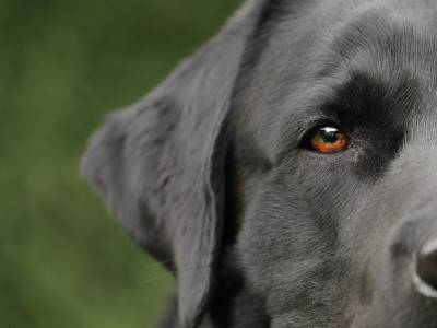 Most Popular Black Dog Breeds