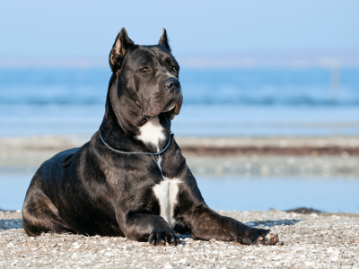 Interesting Cane Corso Fun Facts