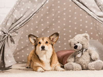 Cutest Teddy Bear Dog Breeds
