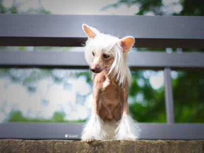Chinese Crested Dogs: Unknown Legacy