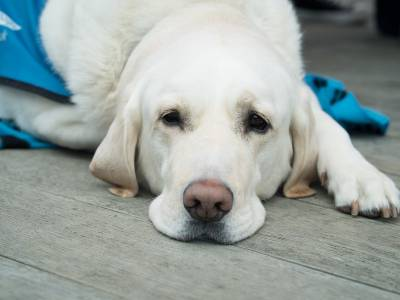 Meloxicam For Dogs: Uses, Side Effects & Warnings