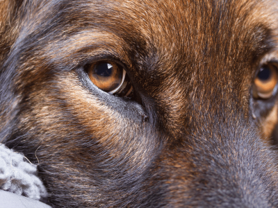 Sable Color In Dogs