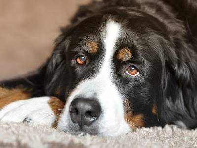 Glaucoma in dogs: causes, symptoms and treatment