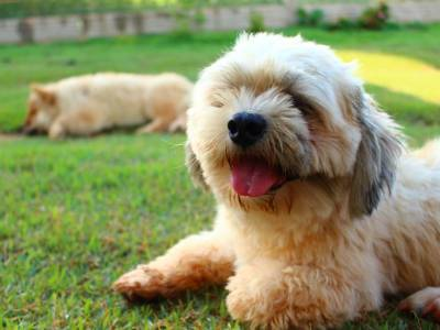 Lhasa Apso - Facts & Buying Advice