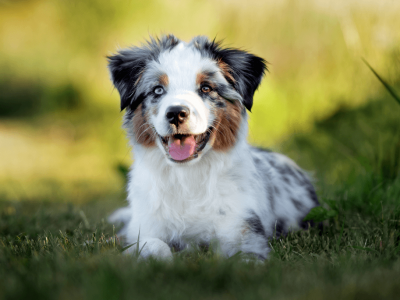 7 Best Mini Australian Shepherd Fun Facts