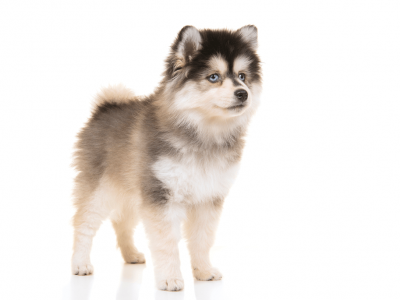 Have You Heard About Pomeranian Husky Dog?