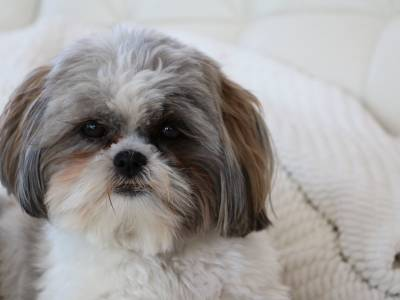 The Famous Shih Tzu Temperament