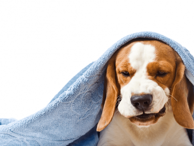 Kennel Cough - Symptoms, Treatment & Prevention