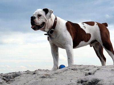 Victorian Bulldog Dog Breed Profile