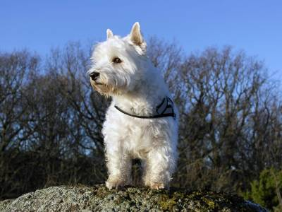 Taking Care of a Westie