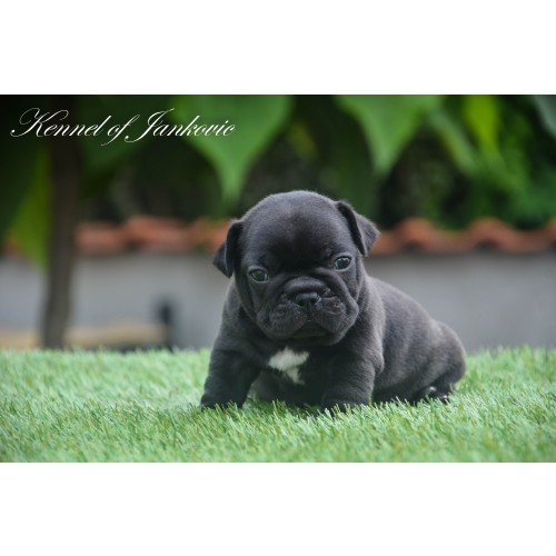 Bulldog from Semendria Jericho