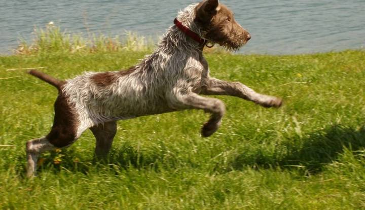 Slovakian Wirehaired Pointer