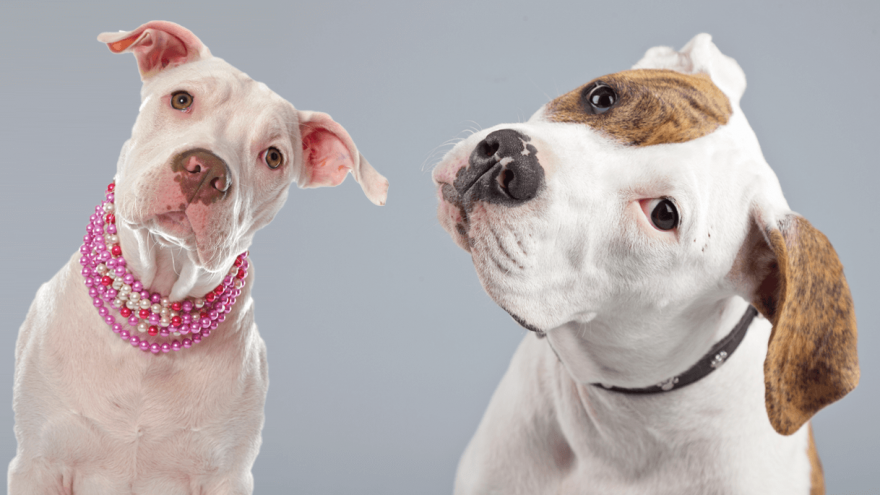 American Bulldog vs Pitbull - Do You Know the Difference