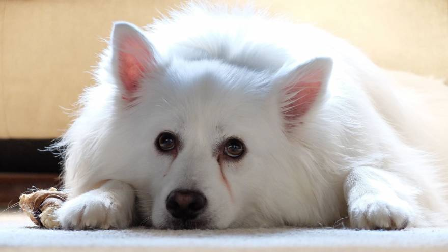 10 AKC Dog Breeds You've Probably Never Heard Of