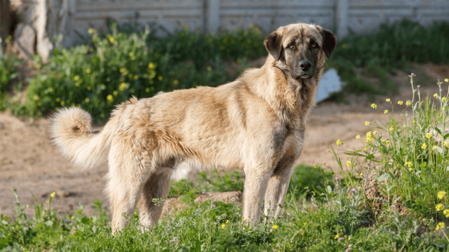 Anatolian Shepherd - Fierce Dog With The Strongest Bite