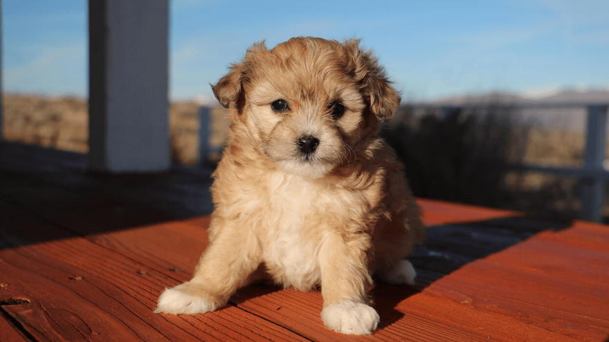 Aussiedoodle - Adorable Mixed Companion
