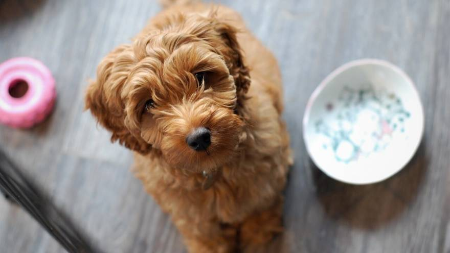 All You Need To Know About Australian Labradoodle