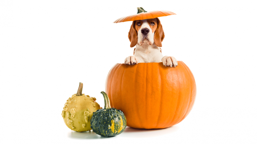 Pumpkin For Dogs: Why You Should Have It At Home