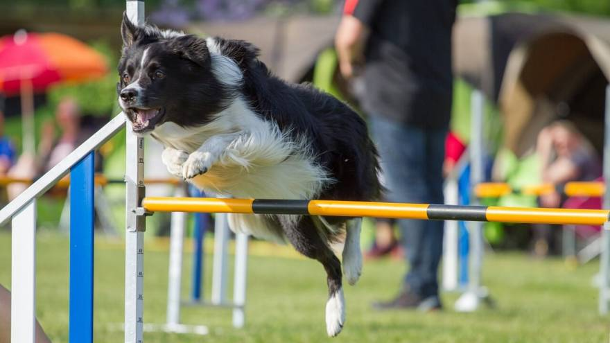 Dog Agility Equipment: Getting Started