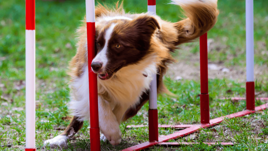 All About Dog Agility Training