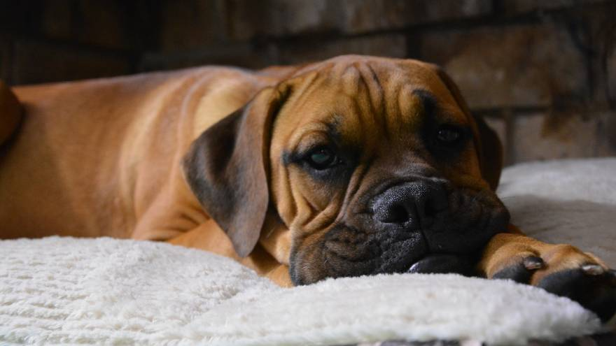 Temperament of a Boxer Dog