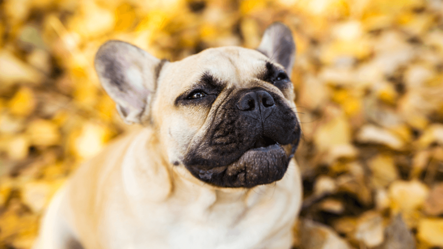 Apoquel for Dogs - Should Your Dog Use It
