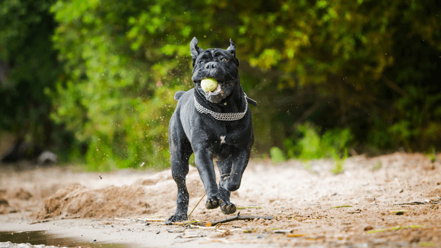 Must Know Cane Corso Training Tips