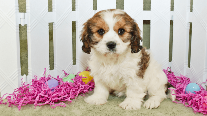Cavachon - Facts & Information