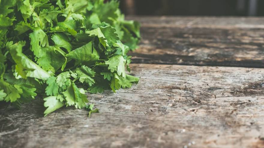 Can My Dog Safely Eat Cilantro