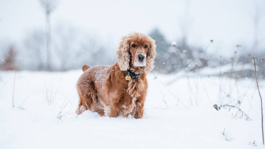 Learn 7 Fun Facts About Cocker Spaniels