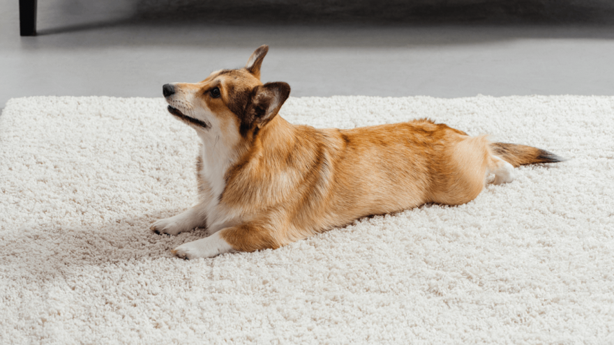 3-step Guide - How to Teach a Dog to Lie Down