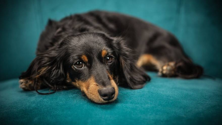 Can Dogs Get Hiccups?