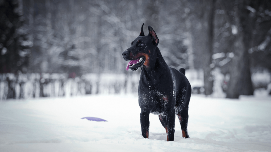 Best Guard Dog Breeds In The World