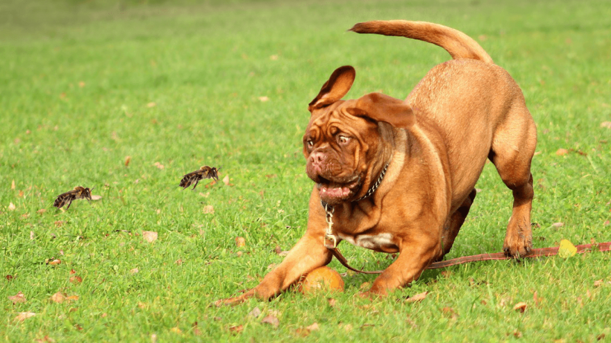 Dog Stung by Bee? Here Is What You Need To Do
