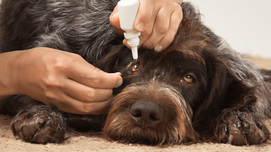 Dog Eye Infection - Causes & Treatment