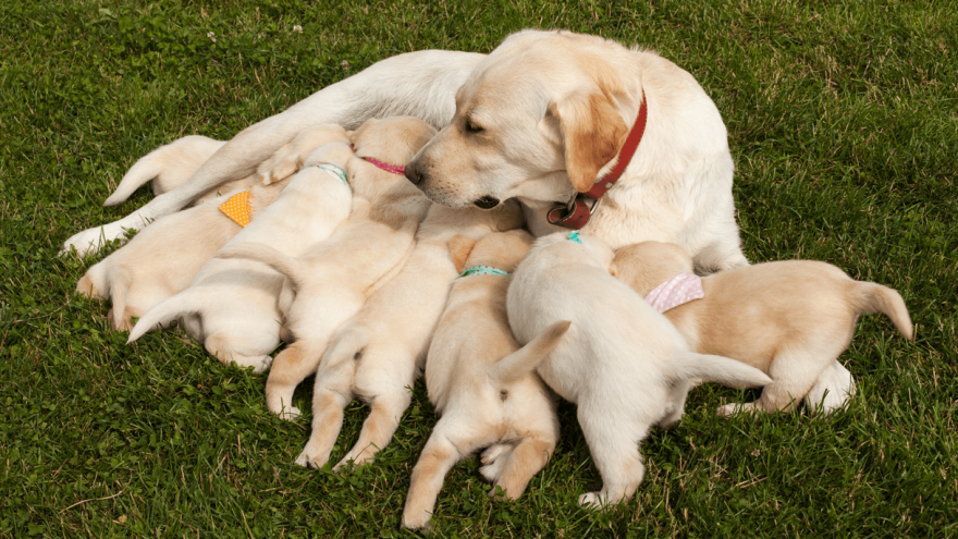 Mastitis in Dogs: How to Treat It?