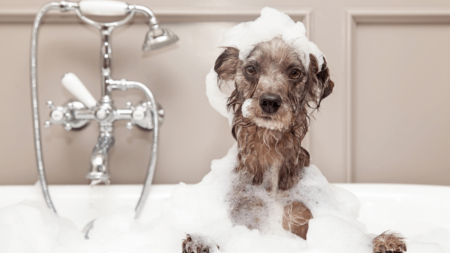 Here is How You Can Become a Dog Groomer