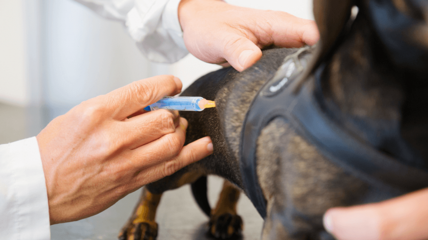 DHPP Vaccine for Dogs - What's In It