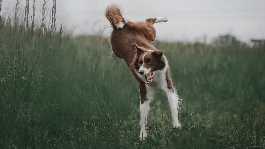 What is Elbow Dysplasia in Dogs?