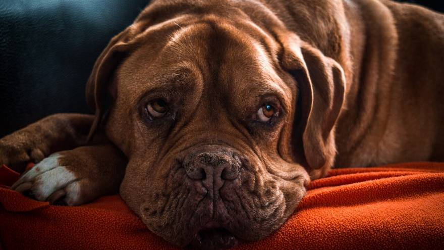 Melatonin For Dogs - Dosage And Tips