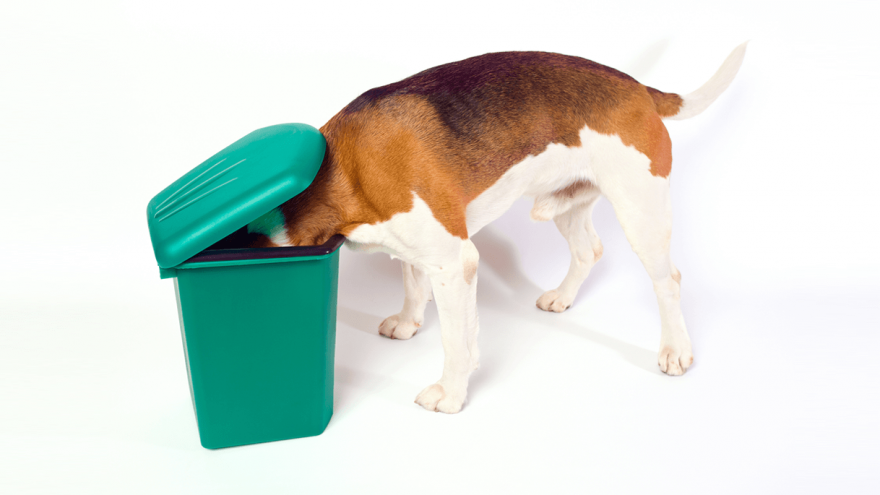 Pica in Dogs - Why Does my Dog Eat Everything They See?