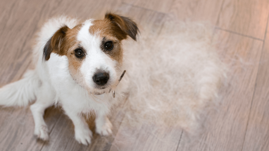 Is Your Dog Losing Hair? Here Are Some Common Causes