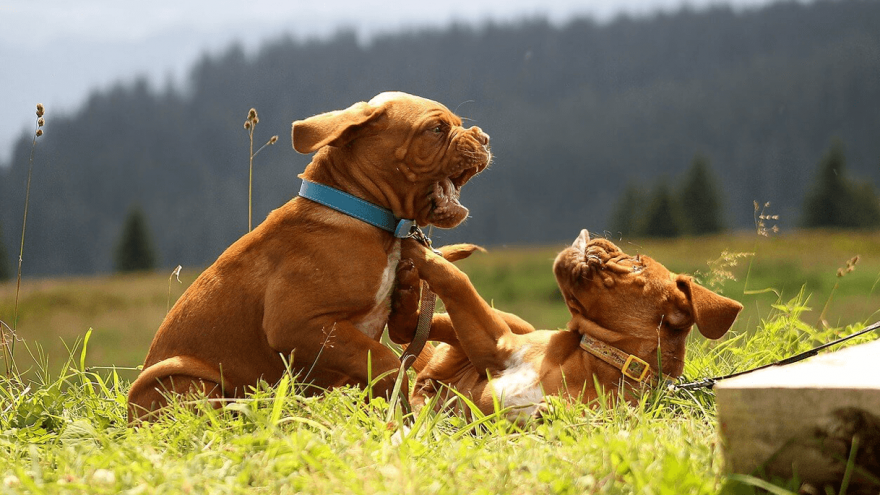 Littermate Syndrome in Dogs - Myth or Truth?