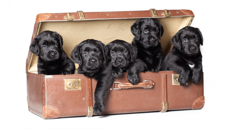 Why Are English Labs Popular Dogs?