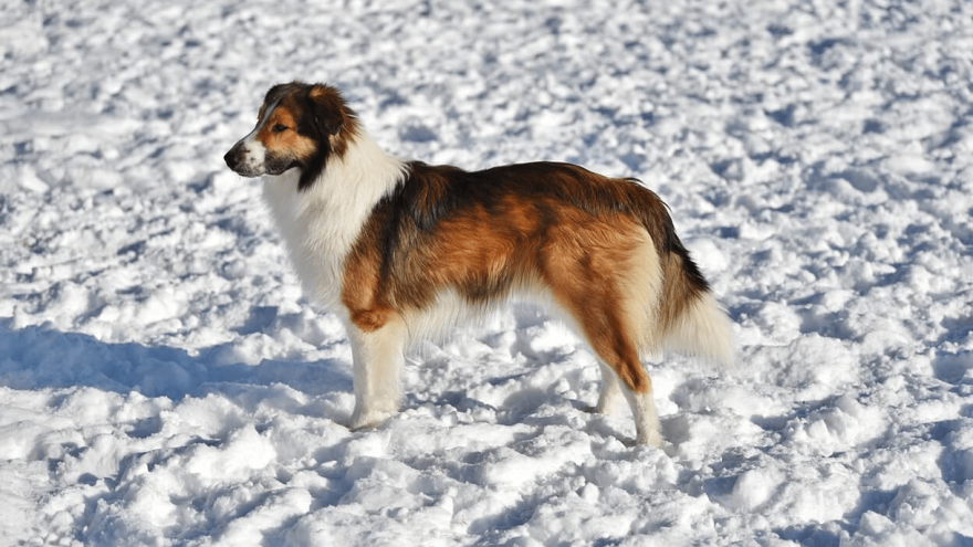 English Shepherd: American Breed With a Misleading Name